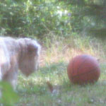 Ella, stalking the wild basketball
