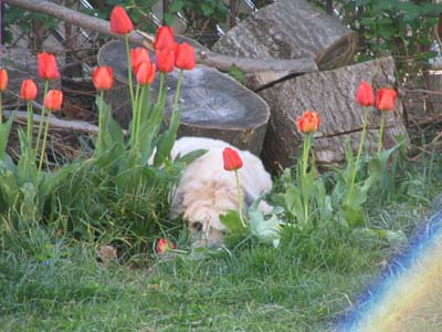Fuzz amongst the tulips 3
