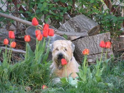 Fuzz amongst the tulips 4