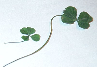 four-leaf clovers